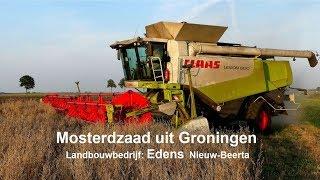 Mosterdzaad dorsen met Claas Lexion 600 in Nieuw-Beerta.
