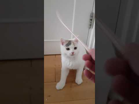 Vanity Fair the British Shorthair cat playing with a straw