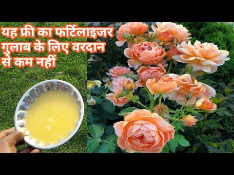 गुलाब के पौधों में डालिए यह फर्टिलाइजर फूल तोड़ने वाले कम पड़ जाएंगे