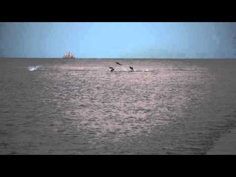 Long-beaked Common Dolphins in the Gulf of California