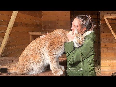 РЫСИ ЗАХОТЕЛИ ЛАСКИ / Большие кошки охотятся на ребенка