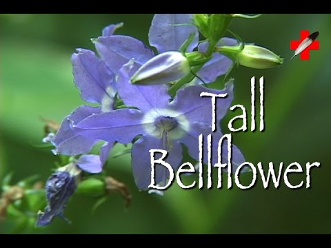 Tall Bellflower: Medicinal