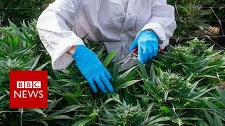 What's in cannabis-derived medicines? - BBC News