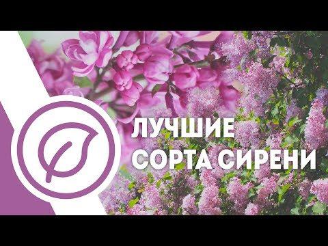 Лучшие сорта сирени в ботсаду МГУ. Саженцы сирени в Москве