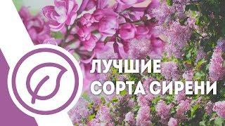 видео Сирень обыкновенная Огни Донбасса