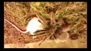 grammostola rosea eatinga mouse