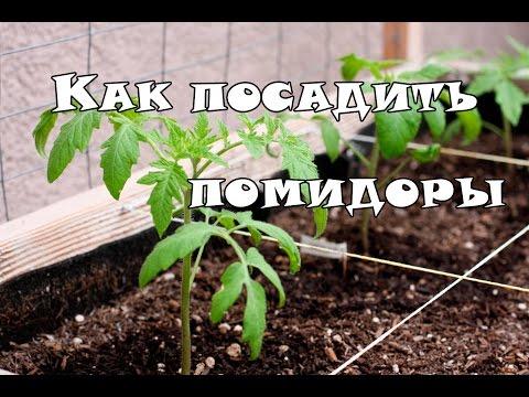 видео: Как посадить рассаду помидор в теплицу