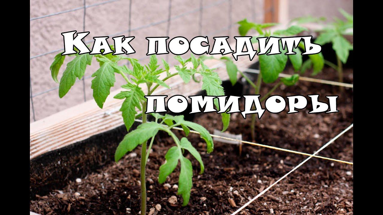 Как посадить рассады помидорами 339