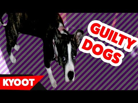 Funniest Guilty Dog Videos of 2016 Weekly Compilation | Kyoot Animals