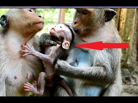 OMG! Sasha monkey do bad on Brutus JR in front mom- Baby very scare, Mom Jill angry sasha play bad.