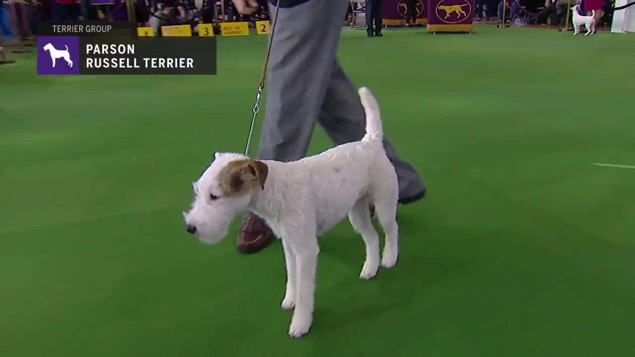 Parson Russell Terriers   Breed Judging 2019 - YouTube