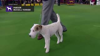 Parson Russell Terriers | Breed Judging 2019