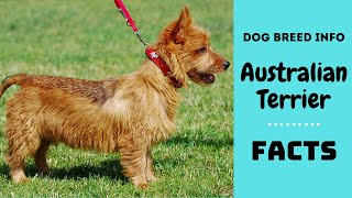 Australian terrier dog breed. All breed characteristics and facts about Australian Terrier