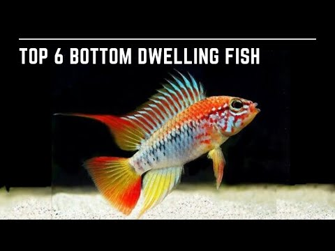Top 6 Bottom Dwellers - 6 Bottom Dwelling Fish For Your Aquarium