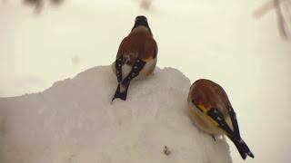 Красивые птицы России. Фильм о зимующих птицах\Beautiful Birds Russia. Wintering birds.