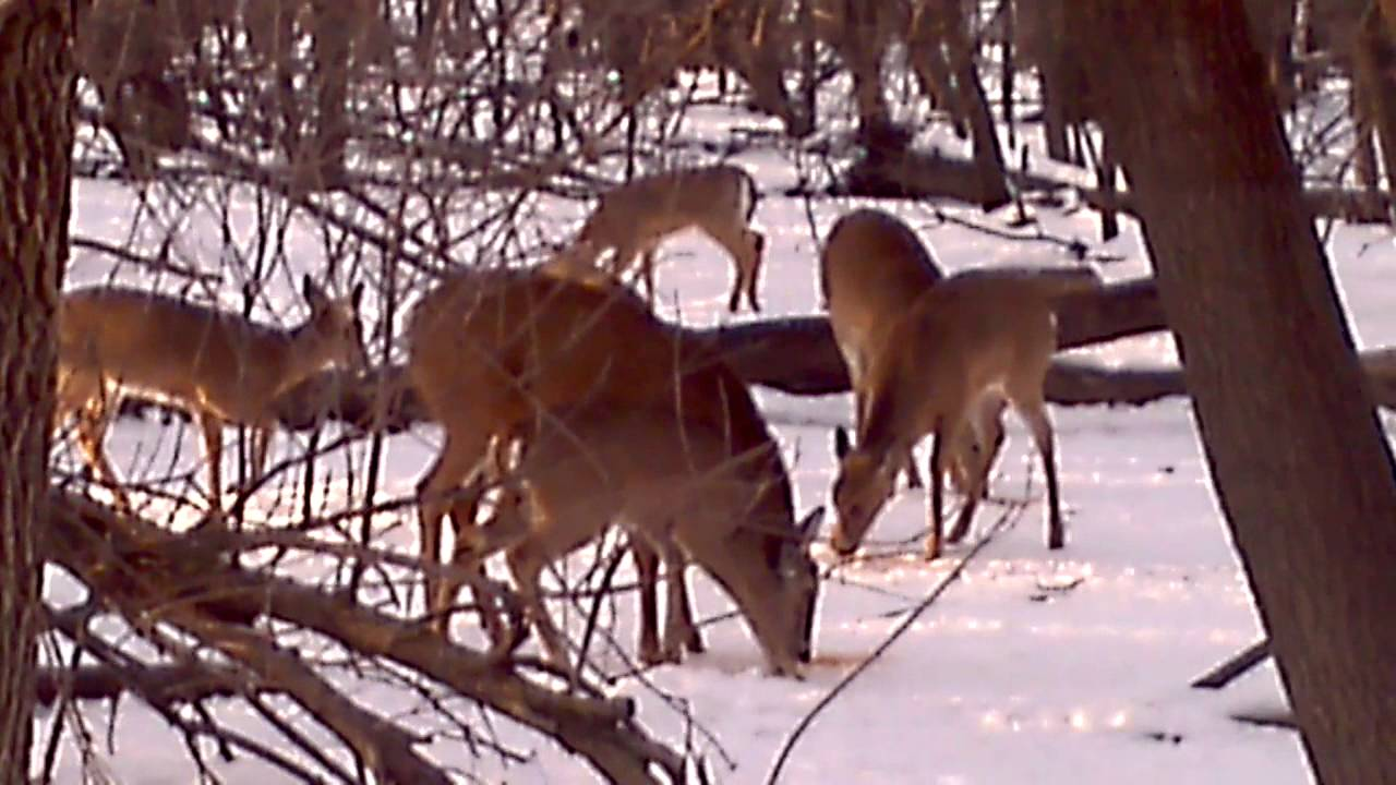 white tailed deers