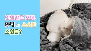 인형같은 포메라니안! 퐁키의 소원은?! Adorable Doll-Like Pomeranian Fonki's Small Wish
