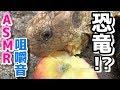 【ASMR】腹ペコのケヅメリクガメに野菜と果物を食べさせながら咀嚼音と呼吸音を聞いてみた【媛めだか】