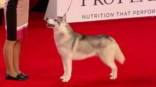2017 Beverly Hills Dog Show: Siberian Husky,  Working Group