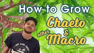 How to Grow Chaeto Algae and Other Macroalgae Like a PRO | Lighting, Parameters, & Flow