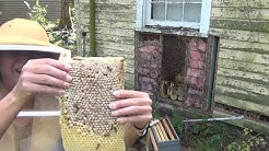 Beehive In Old Shed Has 2 Queens