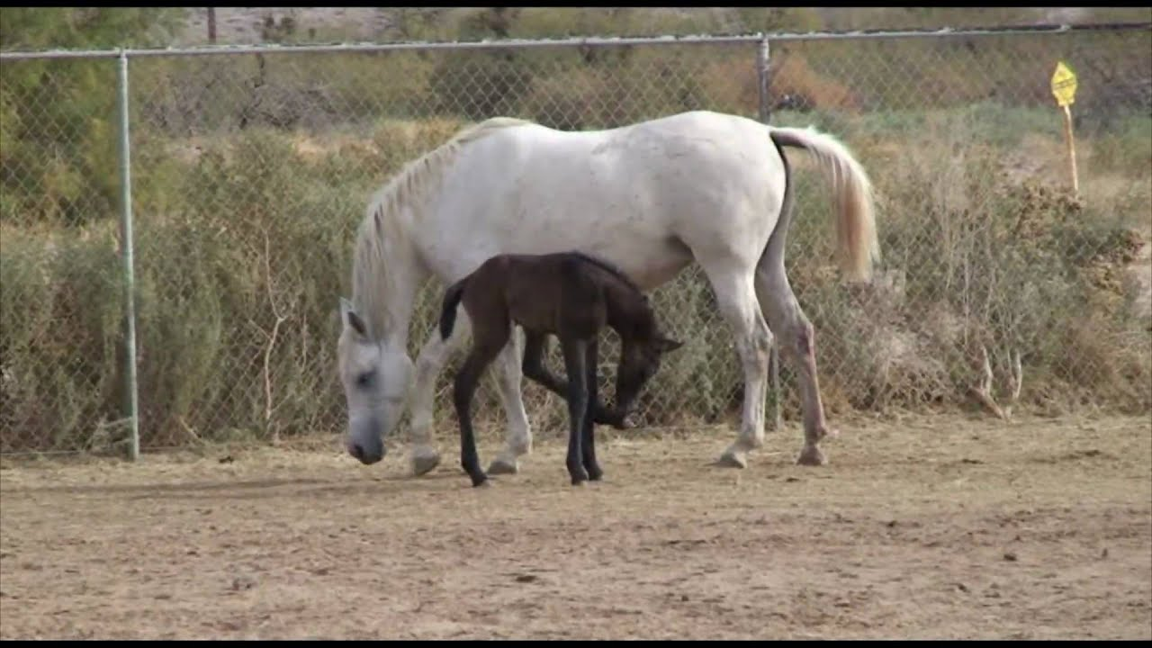 2 day old baby egyptian arabian horse youtube - Arabian horse pictures ...