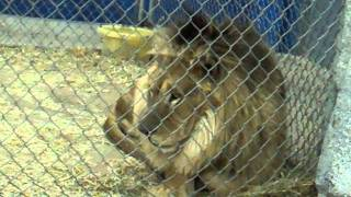 Turpentine Creek Welcomes Thor, a New Lion!