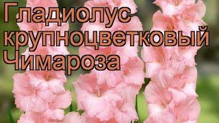 Гладиолус крупноцветковый Чимароза (gladiolus) ???? обзор: как сажать, рассада гладиолуса Чимароза