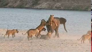Young elephant survives attack by 14 Lions(Young elephant survives attack by 14 Lions., 2014-11-11T15:09:55.000Z)