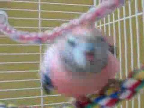 Rosie the Bourkes Parakeet