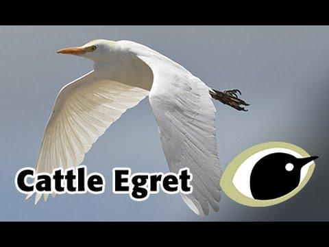 BTO Bird ID - Cattle Egret