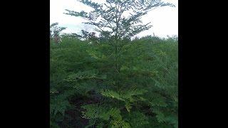 Organic Moringa farms at Cambodia/ and earn money from moringa tree