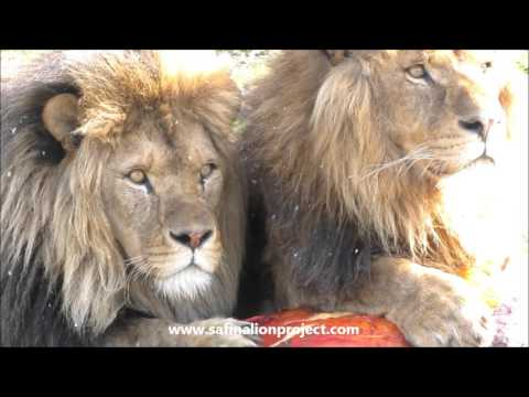Knowsley Lion Coalition Feeding 15/03/16