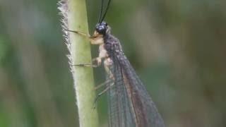 ウスバカゲロウ Hagenomyia micans