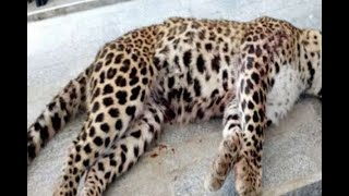 In Graphics: Leopard killed in Lucknow