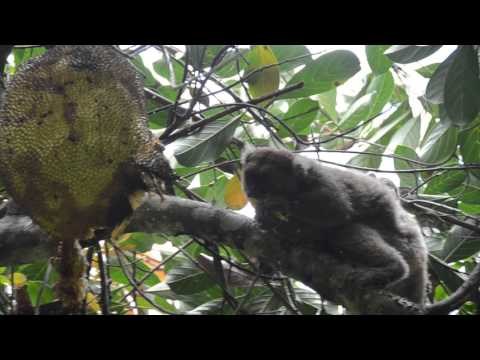 NorthWest group #1 Female Greater bamboo lemur and her offspring and Jackfruit