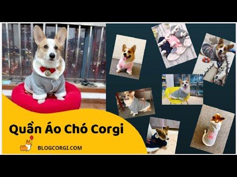 #05 💖 Quần Áo Cho Chó Corgi 🐹 Siêu Cute [BlogCorgi.com]