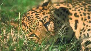 Leopards (the perfect hunter)