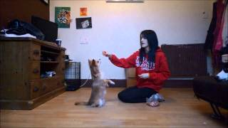 How To Teach Your Dog To 'sit Pretty' (beg)