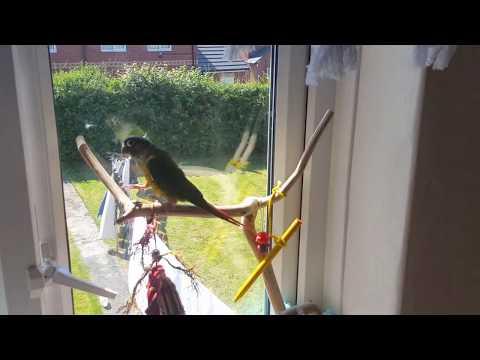 Conure parrot making cute noises