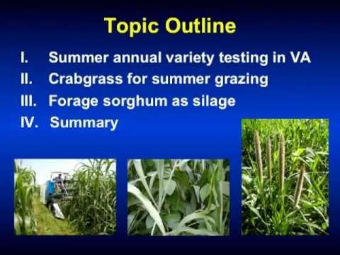 Utilizing Summer Annuals to Fill the Summer Grazing Slump