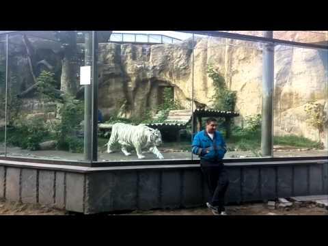 Тигр нападает на человека (московский зоопарк)