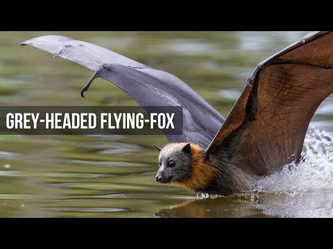 Grey Headed Flying Foxes - Slowmotion And Dipping Behaviour