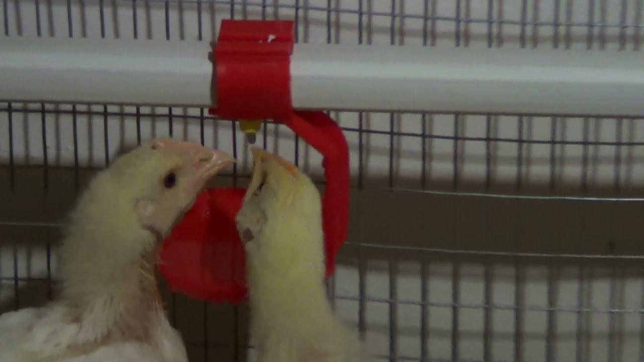 Болезни цыплят бройлеров 52