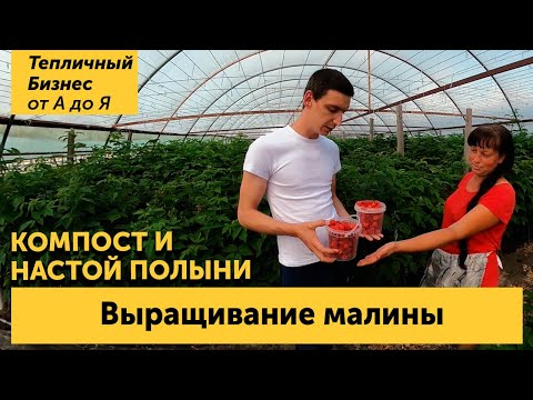 Малина тепличная. Сорта, подкормки компостом, настойка полыни и  другие секреты выращивания