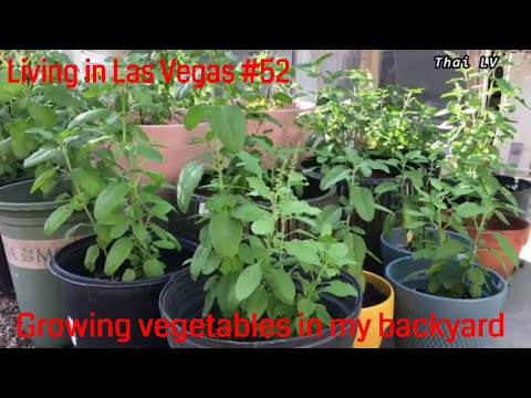 Living in Las Vegas #52 Growing vegetables in my backyard