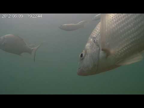 Underwater at Currumbin Creek Entrance feeding fish