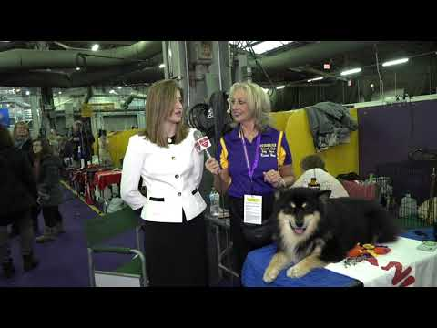 'DUSKY'  Finnish Lapphund at Westminster Kennel Club Dog Show 2019