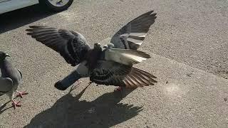 羽で威嚇しながらの噛みつき.