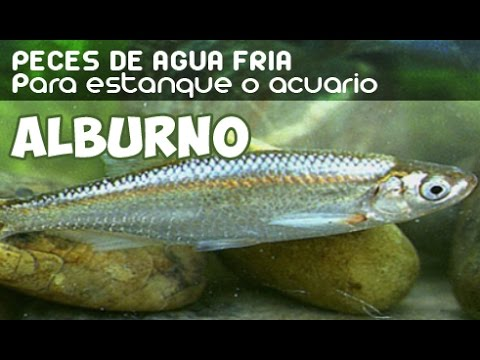 Alburno peces de agua fria youtube for Enfermedades de peces de agua fria
